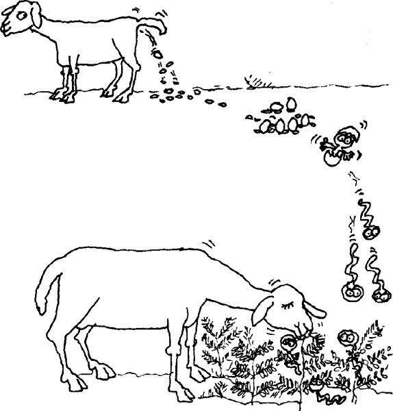 Vierme parazit - Determina paraziti de viata libera