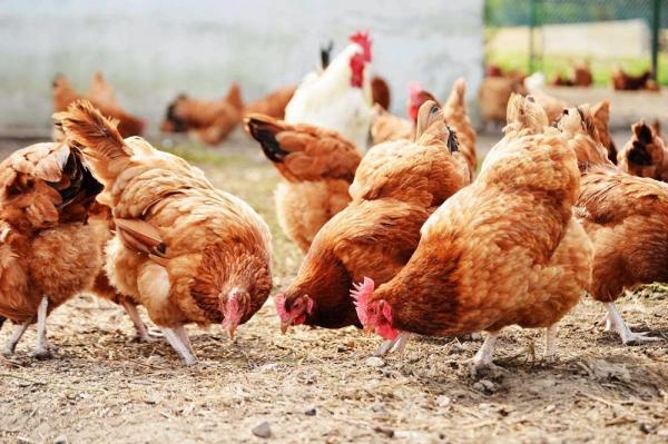 Boli ale vederii găinilor. 3 boli comune ale găinilor: bronșita, sinuzita și varicela – Agroland