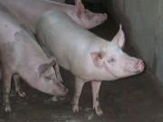 limbrici la porci)