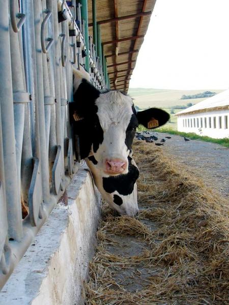De ce scade laptele la vaci