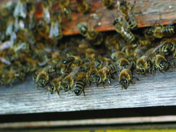 toți albinii au o vedere slabă