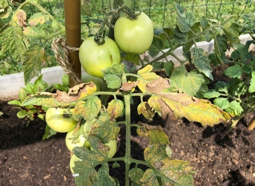 cancerul bacterian la tomate